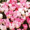 Tulipe Fosteriana Flaming Purissima
