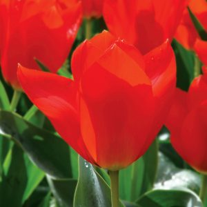 Tulipe Fosteriana Mme Lefeber (Red Emperor)