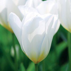 Tulipe Fosteriana Purissima