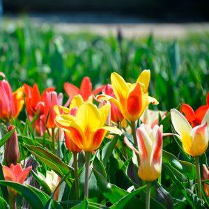 Tulipe Kaufmanniana en mélange