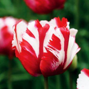 Tulipe Perroquet Estella Rijnveld