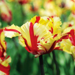 Tulipe Perroquet Flaming Parrot