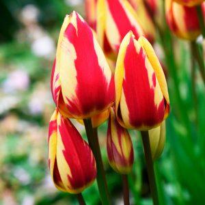 Tulipe Pluriflore Colour Spectacle