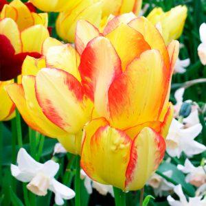 Tulipe Pluriflore Georgette