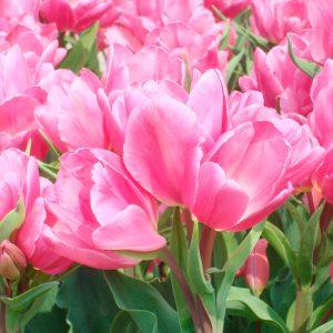Tulipe Pluriflore Happy Family