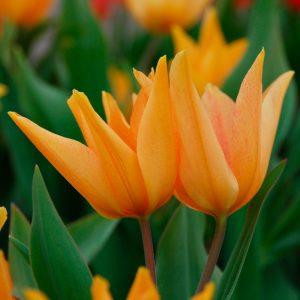 Tulipe Pluriflore praestans Shogun
