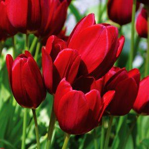 Tulipe Pluriflore Red Georgette