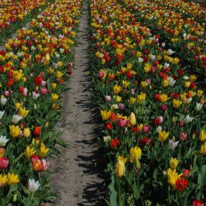 Tulipe Simple Hâtive en mélange