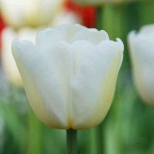 Tulipe Triomphe White Dream