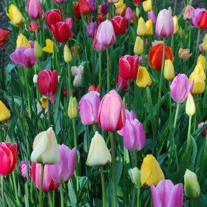 Tulipes Triomphes en mélange
