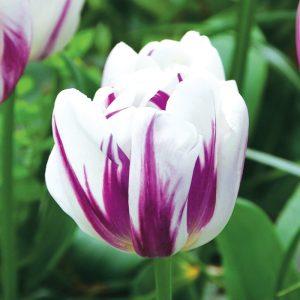 Tulipe Triomphe Flaming Flag