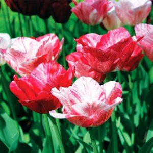 Tulipe Triomphe Hemisphère