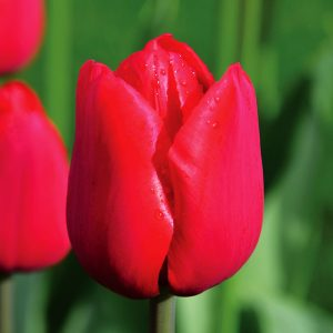 Tulipe Triomphe Ile de France