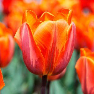 Tulipe Triomphe Princesse Irène