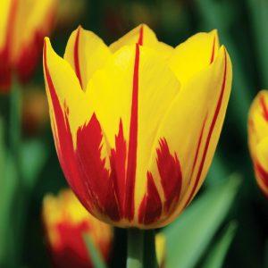 Tulipe Triomphe Washington