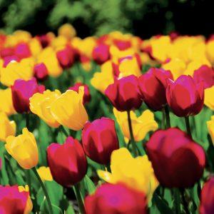 Tulipes Triomphes Contraste
